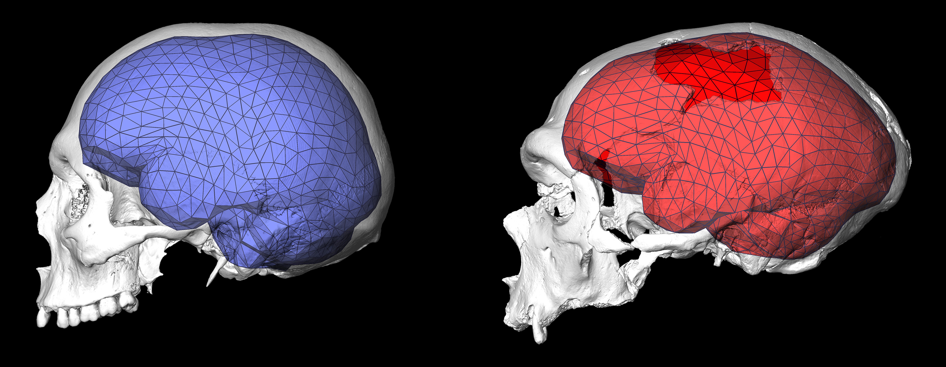 on-the-left-the-globular-endocranial-shape-of-a-modern-human-brian-and-on-the-right-the-neandertha